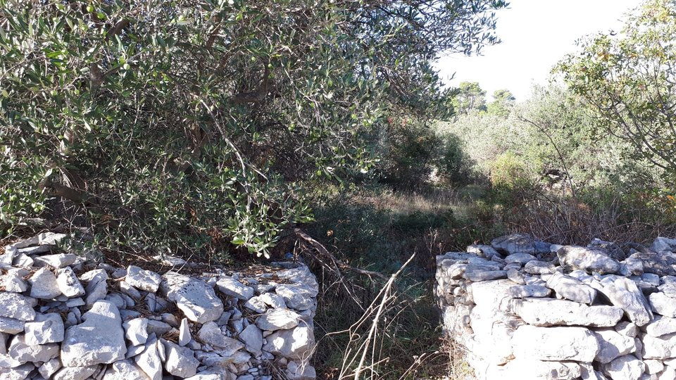 Old olive grove - Mirca