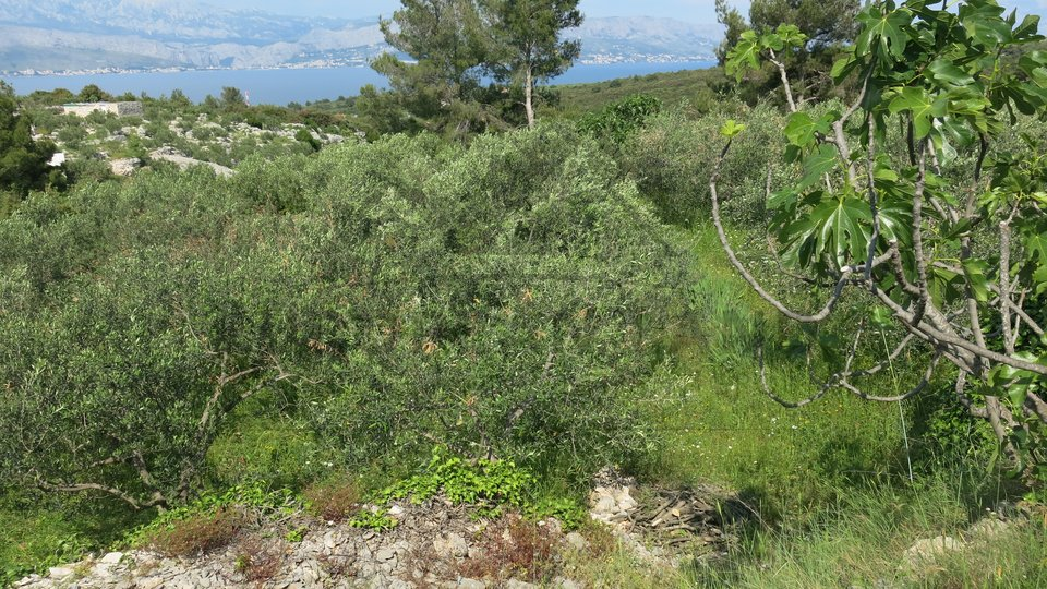 Poljoprivredno zemljište s maslinikom u Splitskoj