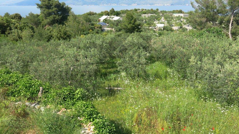 Agricultural land with olive grove in Splitska